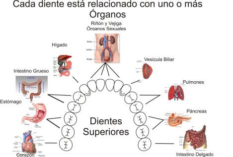 La dentadura refleja la buena salud _ Relación de dientes y órganos
