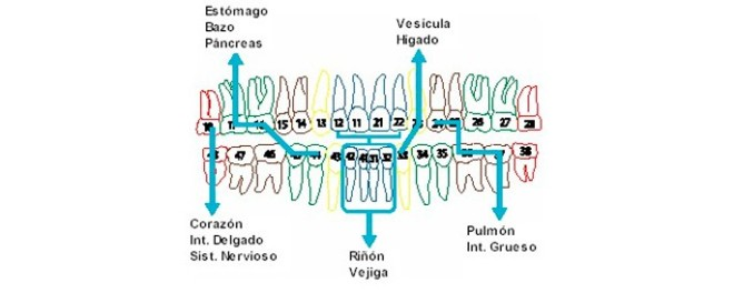 La dentadura refleja la buena salud _ Relación de dientes y órganos_01