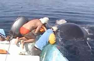 El increíble agradecimiento de una ballena jorobada tras ser rescatada de una red de pesca-AA