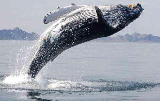 El increíble agradecimiento de una ballena jorobada tras ser rescatada de una red de pesca