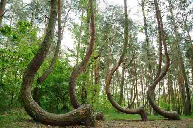 El misterio de los pinos encorvados de Gryfino-06