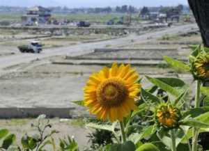 Bioremediación Girasoles para contrarrestar la devastación de Fukushima_Viaje Hacia Si Mismo-99