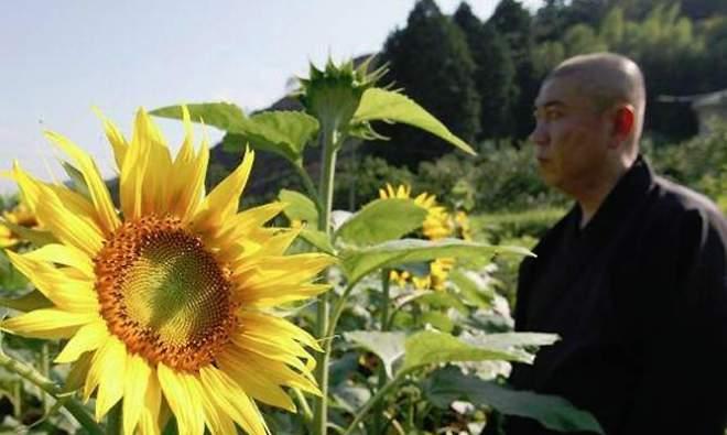 Bioremediación Girasoles para contrarrestar la devastación de Fukushima_Viaje Hacia Si Mismo